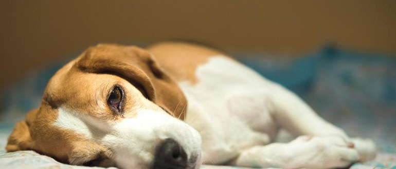 Что делать, если у собаки глисты: препараты и схема лечения