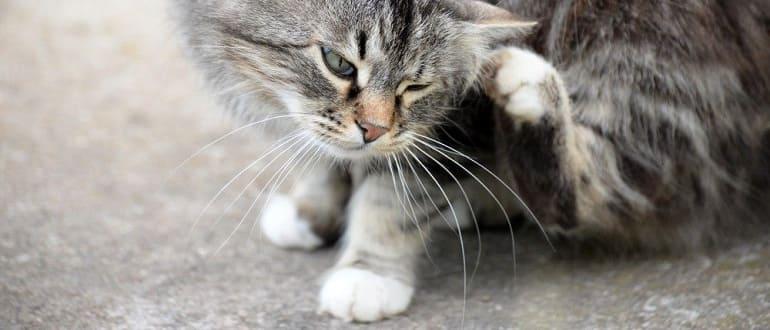Отодекоз у кота