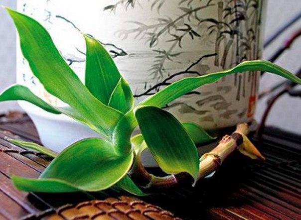 Растение золотой ус от лопнувших пяток
