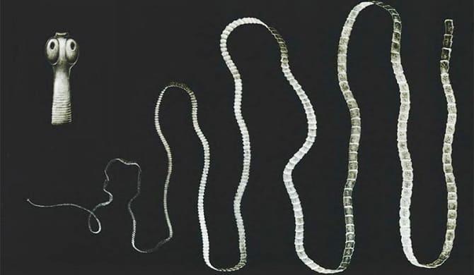 Длина бычьего цепня
