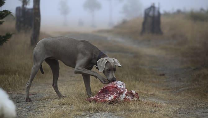 Собака ест мясо