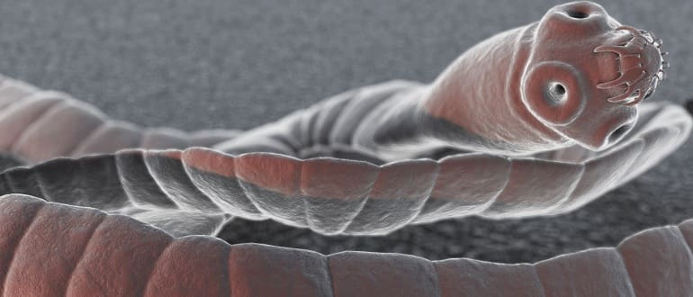 Что такое свиной цепень, каковы признаки паразита и как от него избавиться