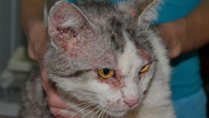 Нотоэдроз у кота